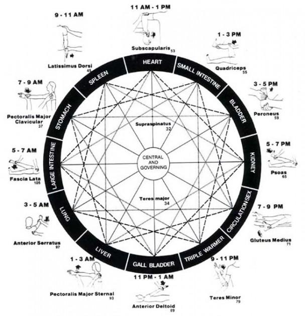 rueda muscular, ritmo biológico de los órganos